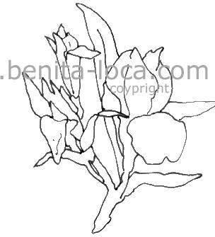 Comment dessiner un iris - Coloriage fleur iris ...