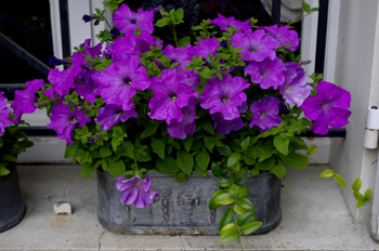 id es de fleurs bleues pour vos jardini res balcons et terrasses. Black Bedroom Furniture Sets. Home Design Ideas